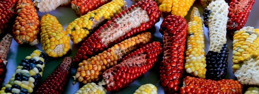corn, latin america, cerlac